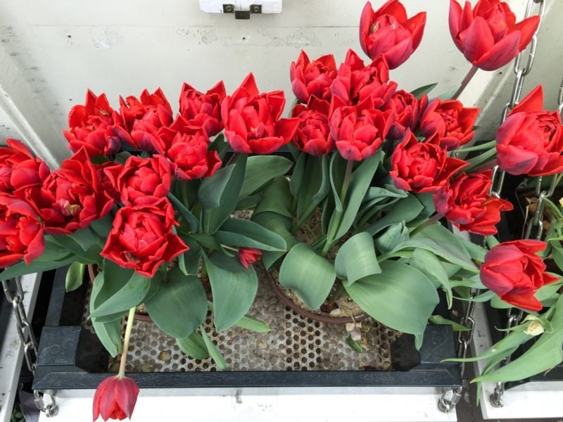 Lovely tulips in a window box in Amsterdam