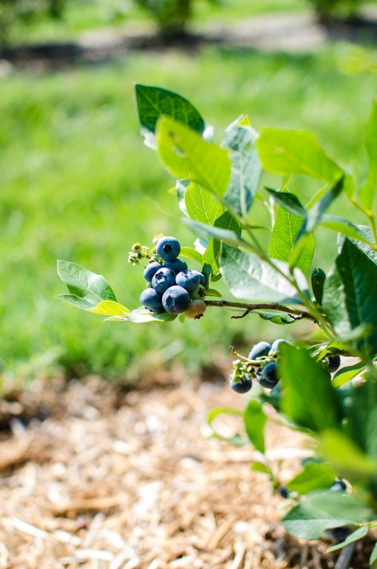 A close up shot of a fresh blueberry cluster growing on a blueberry plant.