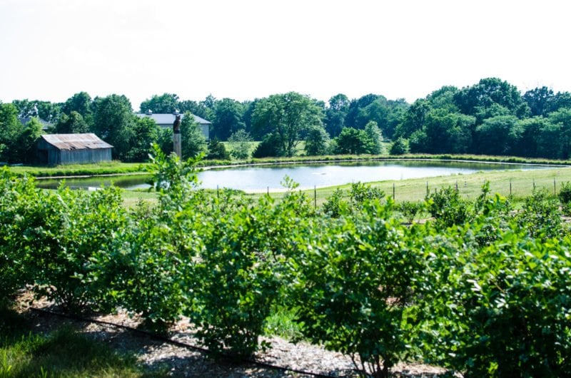 A scene of a pond surrounded by blueberry bushes.